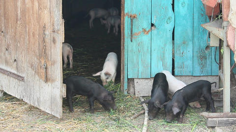 piglets on a farm Live Action