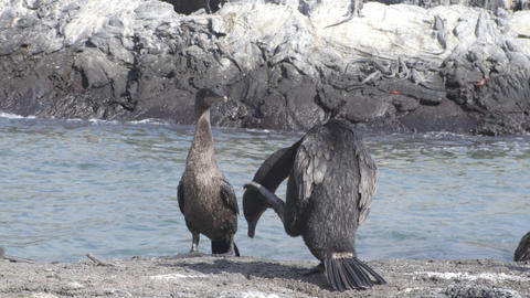 Flightless Cormorant drying wings on Fernandina Island Galapagos Islands Live Action