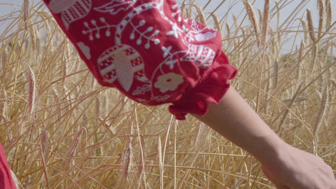 Hand of carefree woman touching yellow ears standing on the wheat field close-up Footage