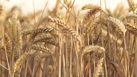 Wheat Field. Ears of wheat close up. Harvest concept. Field of golden wheat Footage