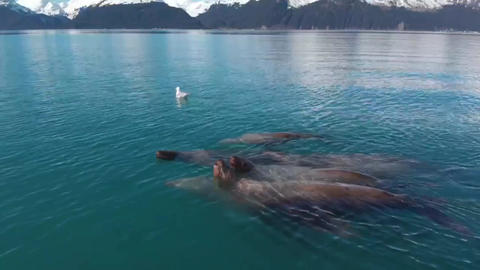 Amazing view of sea lions swimming in Alaskan Live Action