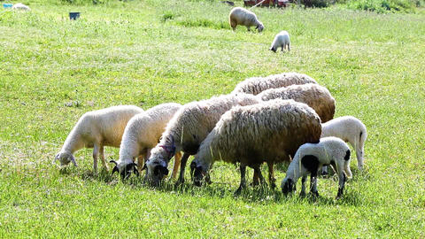 Sheep Feeding On Grass Live Action