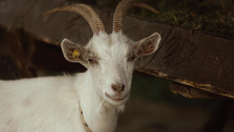 Close-up of white goat head. The ear tag is implanted Live Action