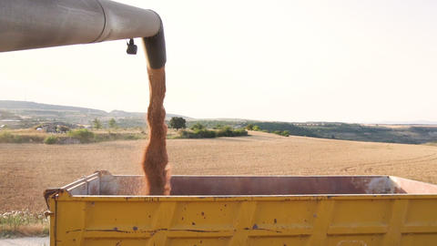 Combine harvester loading grain into a truck trailer. Pouring wheat grain into Live Action