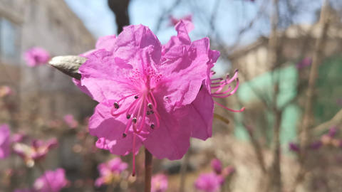 Pink rhododendron flowers on blurred background. Natural background Footage