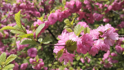 Pink cherry blossoms on blurred background Live Action