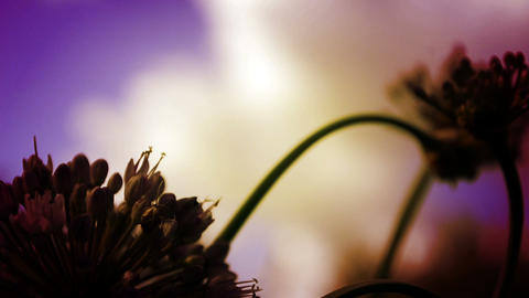 Flower And Sky Cinematic Purple Timelapse Footage