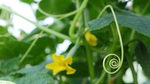 Unripe cucumbers on a branch in the garden. Growing cucumbers in the greenhouse Footage