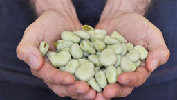 Hands are holding raw, uncooked fava beans Live Action
