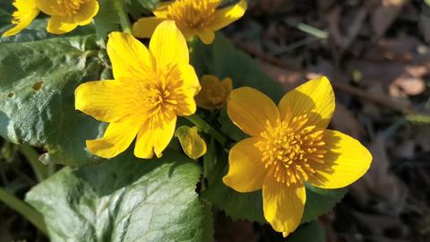 Yellow flowers kaluzhnitsa swamp. Nature Of The Far East Live Action