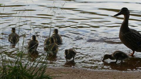 mallard duck with brood of little fluffy ducklings Footage