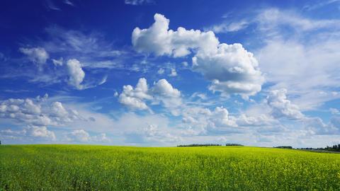 flowering rapeseed field under blue sky, timelapse Footage