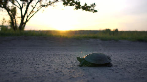 Cheery turtle lying on a country lane at small lake at sunset in slow motion Footage