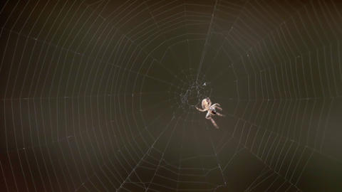 Spider on the web, eats prey Live Action