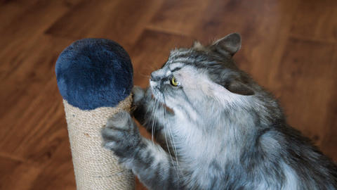 Cat sharpen claws on scratching post Live Action