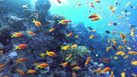 Tropical Fish on Vibrant Coral Reef Footage
