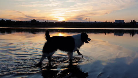 Happy dog refreshing as walking in the pond water over sunset background with reflection on the lake Live Action