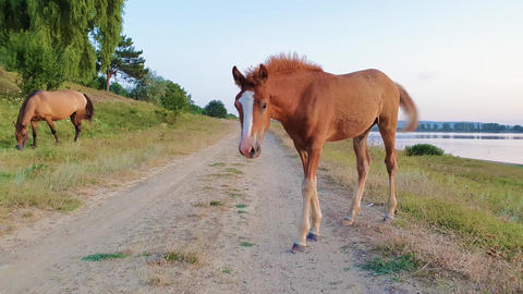 Funny baby foal looking curious and attentive to camera standing on a country road near pasture near Footage