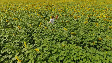 Top view of man and woman walking on yellow sunflower field. Freedom concept Footage