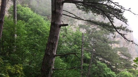 Pine trees on foggy mountain landscape. Green coniferous trees on mountain in Live Action