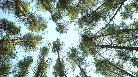 low angle shot of pine trees forest Live Action