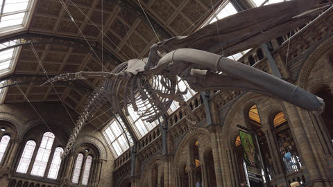 Blue whale skeleton in the main hall of the Natural History Museum of London, UK Live Action