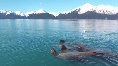 Alaska sea lion family Live Action