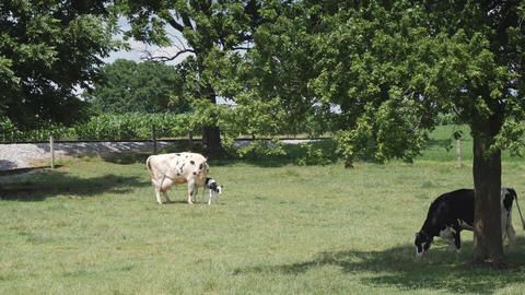 Amish Cow Protecting it's New Born Calf Footage