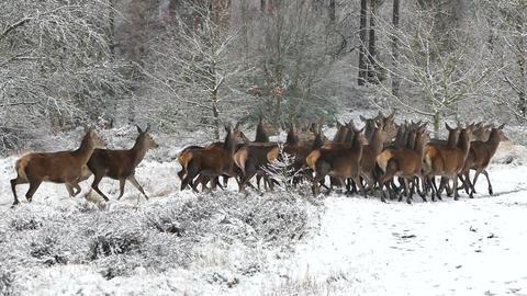 Deer Running Footage
