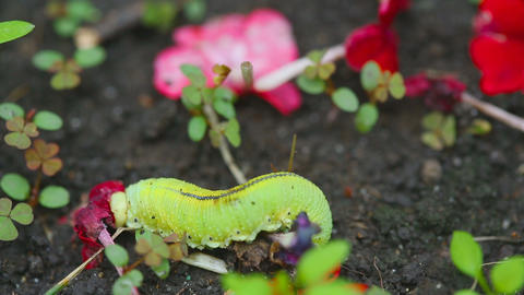 The Birch sawfly larva crawling on the ground Footage