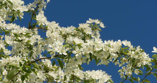 Spring white flowers blooming apple orchard Footage