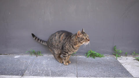 Brown cat walking along the wall of the building in slow motion Footage