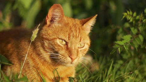 Big beautiful red cat sits in the grass among the greenery on a sunny day Live Action