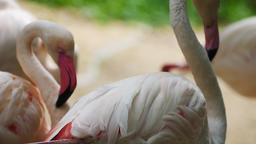 Flamingo stand grooming Live Action