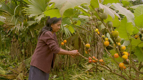 Indigenous Old Woman Harvesting Exotic Fruit In Amazon Rainforest Footage
