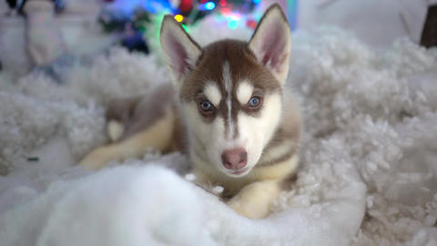 Siberian Husky Puppies Resting Live Action