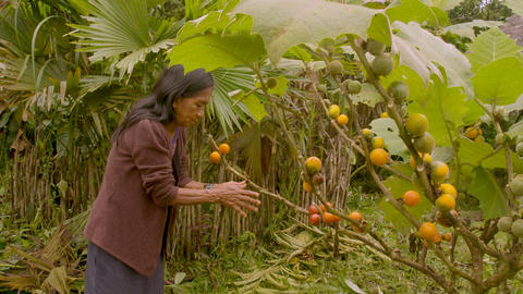 Indigenous Old Woman Harvesting Exotic Fruit In The Amazon Rainforest Footage