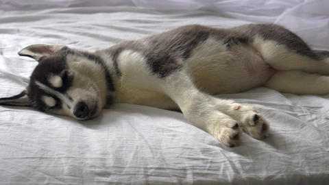 Sleeping Little Husky Puppies In The New Year Holiday Live Action
