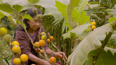Indigenous Old Woman Harvesting Exotic Fruit In The Amazon Rainforest Live Action
