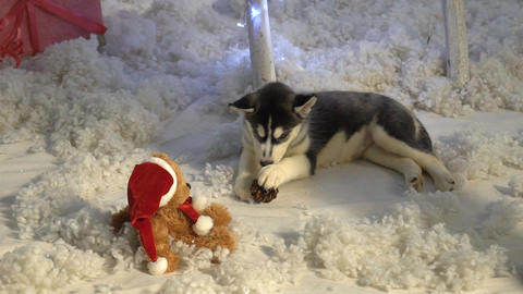 Puppy Play With Toy, Siberian Husky Puppy Live Action
