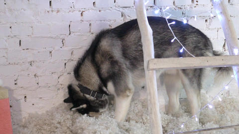 Siberian Husky In New Year Lights. Lifestyle With Dog. Brick Wall Background Live Action