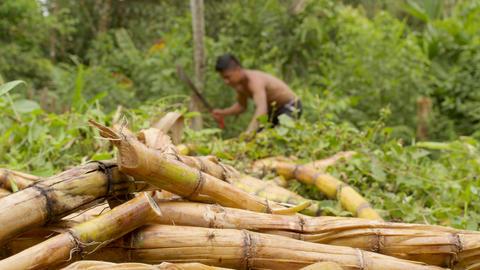 Indigenous Man Cutting Sugar Cane Sticks In The Amazon Rainforest Footage