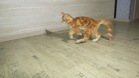 Cute Red Kitten of Maine Coon Live Action