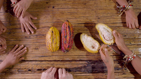 Hands Of Amazonian Indigenous People Receiving Exotic Cocoa Fruit Seeds In Ecuador Footage