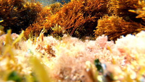 Underwater view of seaweeds waving under small waves. Sardinia, Italy Live Action