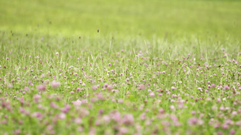 Pink clover flower growing in green grass margin Live Action