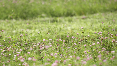 Bright clover flower growing in green grass margin Live Action