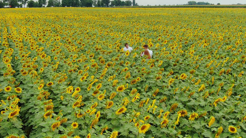 Agriculture scientists with tablet working on sunflower field. Aero Flight Footage