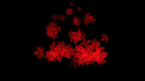 Falling maple leaves on black background Animation