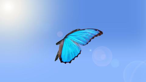 Morpho peleides, blue butterfly flying, slow motion Animation